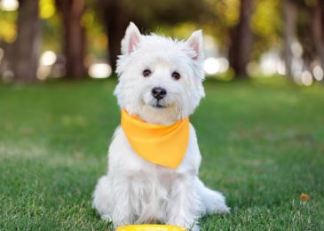 West highland terrier with its food plate at the lawn
